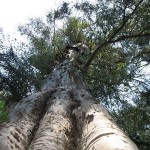 A Large Gum Tree can evapotranspire 1000 litres in a day!